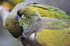 Patagonian conure Stock Image