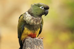 Patagonian conure Stock Photography