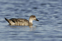 Patagonian crested duck or  Grey duck, Lophonatta speculariodes Royalty Free Stock Image