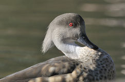 Patagonian Crested Duck Royalty Free Stock Photo