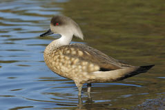 Patagonian Crested Duck Royalty Free Stock Photos