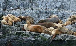 Patagonian dennego lwa kolonia, Beagle kanał Zdjęcia Stock