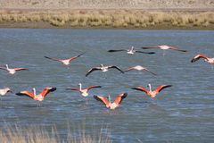 Patagonian flamingo Royaltyfri Fotografi