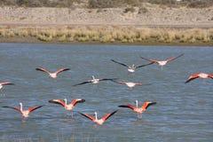 Patagonian flamingos royalty free stock photo