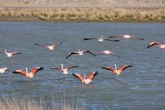 Patagonian flamingos. Flying flamingos in the wild at Peninsula Valdes Royalty Free Stock Photography