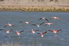 Patagonian flamings. Flying flamingos in the wild at Peninsula Valdes Stock Photos