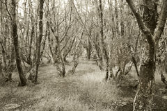 Patagonian forest in sepia tone. Argentina Stock Image