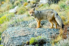 Patagonian Fox Stock Photography