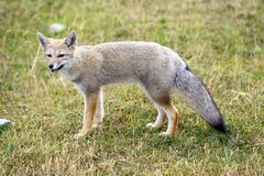 Patagonian fox. In grass in Argentina stock photos