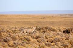 Patagonian fox hunting during sunset. Argentina stock photos