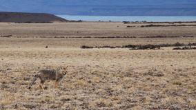 Patagonian fox Royalty Free Stock Photos