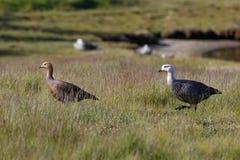 Patagonian goose, birds, animals, south america, patagonia, arge Royalty Free Stock Photos