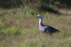 Patagonian goose, birds, animals, south america, patagonia, arge Stock Images