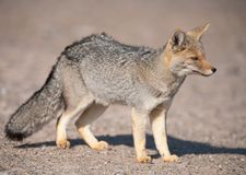 Patagonian grey fox (Dusicyon culpaeus) Royalty Free Stock Photo