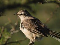 Patagonian härmfågel (Calandria Mora) royaltyfri bild