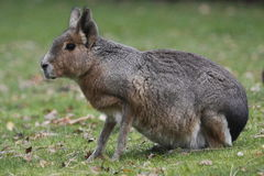 Patagonian hare Royalty Free Stock Images