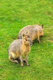 Patagonian Hare Stock Image