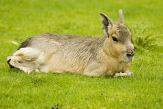 Patagonian Hare Royalty Free Stock Photo
