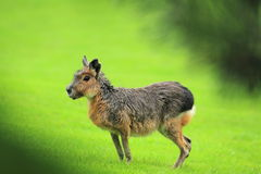 Patagonian hare Stock Photo