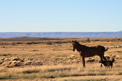 Patagonian Horse and Dog. In Wilderness Stock Photo