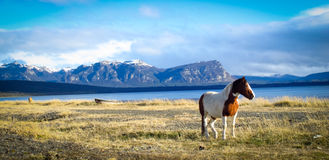 Patagonian Horse Royalty Free Stock Photography