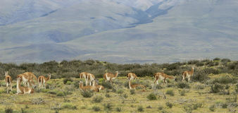 Patagonian landscape with guanacos. Chile. South america Royalty Free Stock Photography