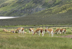 Patagonian landscape with vicunas, lake and mountains. Stock Photo