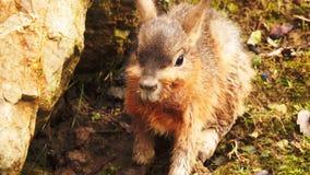 Patagonian mara είναι κουνέλι-όπως ζώο από την Αργεντινή φιλμ μικρού μήκους