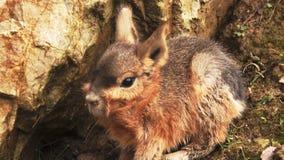 Patagonian mara είναι κουνέλι-όπως ζώο από την Αργεντινή απόθεμα βίντεο