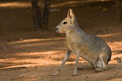 Patagonian Mara Stock Photo