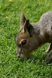 Patagonian Mara. Small Patagonian Mara eating grass Stock Images