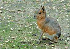 Patagonian mara. Mara - large long-legged rodent. Eats a grass and a bush. Well runs and jumps. Digs greater holes for a children Stock Photography