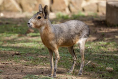 Patagonian Mara Royalty Free Stock Photography