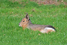 Patagonian mara Royalty Free Stock Photo