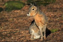 Patagonian mara. The patagonian mara sitting in the soil royalty free stock images