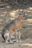 Patagonian mara. Mammal in nature Stock Images