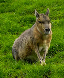 Patagonian Mara Royalty Free Stock Photos