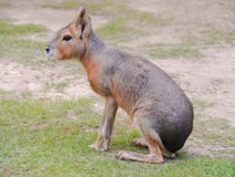Patagonian mara. The Patagonian mara is animals in the rodent Stock Image
