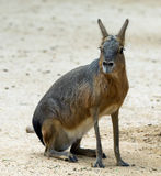 Patagonian mara Stock Photos