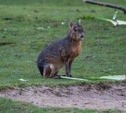 Patagonian Mara, Dolichotis patagonum are large relatives of guinea pigs stock image