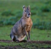 Patagonian Mara, Dolichotis patagonum are large relatives of guinea pigs royalty free stock photo