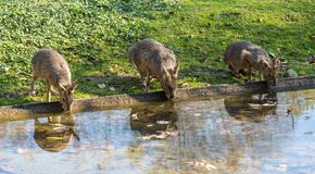 Patagonian Mara, Dolichotis patagonum are large relatives of guinea pigs royalty free stock photos