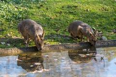 Patagonian Mara, Dolichotis patagonum are large relatives of guinea pigs royalty free stock image