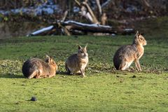 Patagonian Mara, Dolichotis patagonum are large relatives of guinea pigs royalty free stock photography