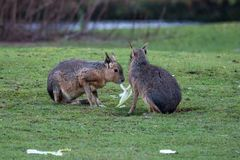 Patagonian Mara, Dolichotis patagonum are large relatives of guinea pigs stock photos