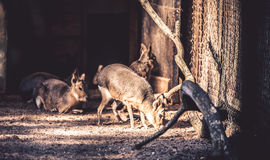 Patagonian Mara. Few (Dolichotis patagonium) in zoo Stock Images