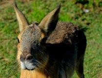 Patagonian mara Stock Images