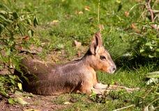 Patagonian Mara. Patagonian hare. Sort : Dolichotis patagonum royalty free stock image
