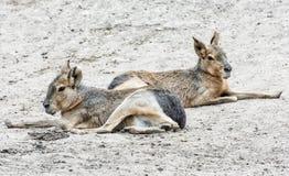 Patagonian Mara jest stosunkowo wielkim ślepuszonką w Mara genus obraz royalty free