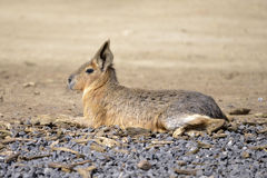 Patagonian mara lying Stock Images